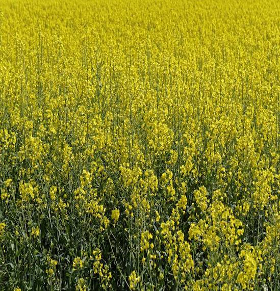 Images Go to the New Detail: Research findings indicate Newfoundland-grown canola has twice the level of brain healthy fats: Omega-3 fatty acids